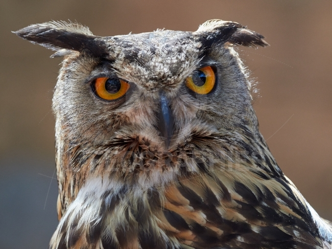 Long eared owl portrait  (Asio otus, previously Strix otus)