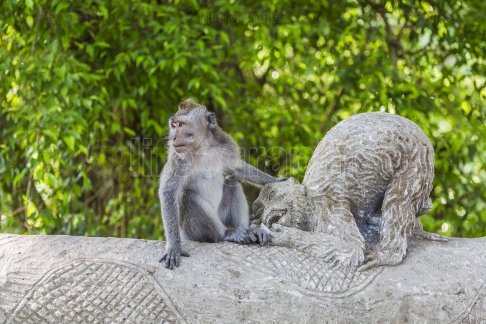 Long-tailed macaques (Macaca fascicularis) in Sacred Monkey Fore