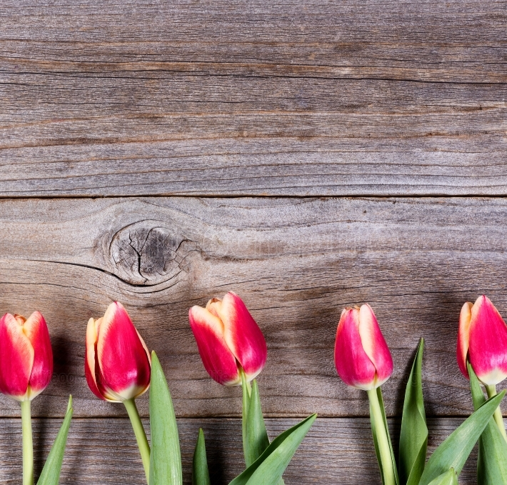 Lovely tulips on rustic wood
