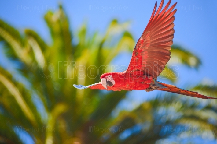 Macaw in free flight in animals park in gran canaria, spain