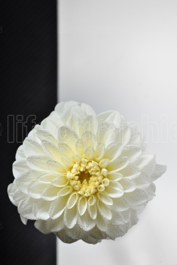 Macro of chrysanthemum