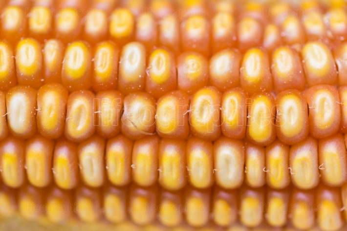Macro shot of corn grain Pattern of maize Useful as food backgro