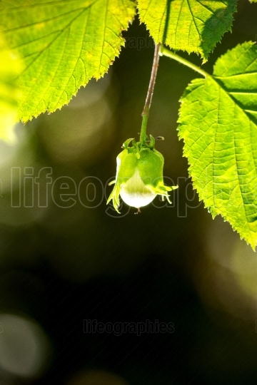 Macro shot of hazelnut growing on a hazel tree