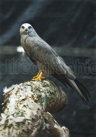 Male mature of black kite