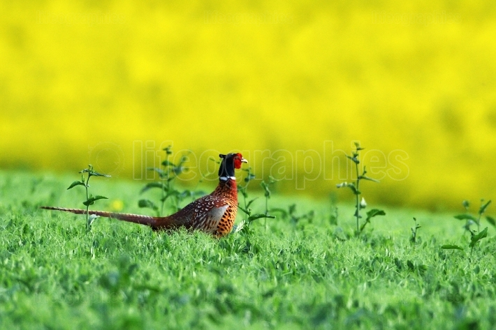 Male pheasant on blooming field in spring (phasianus)