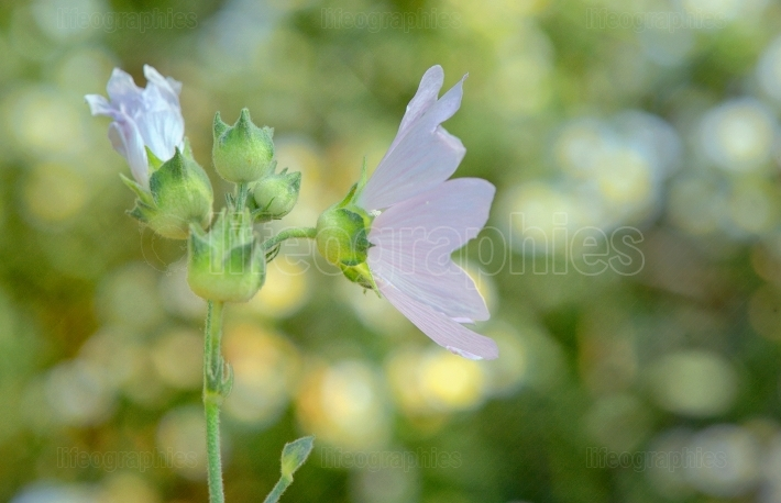 Malva neglecta flower