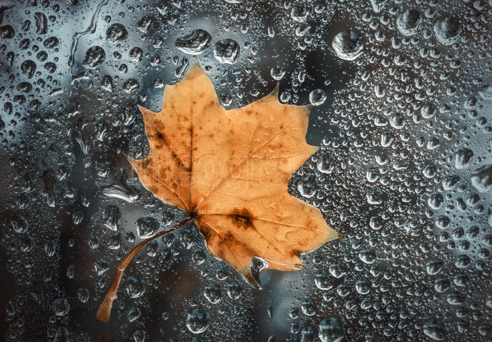Maple leaf stuck to the window that gets wet from rain