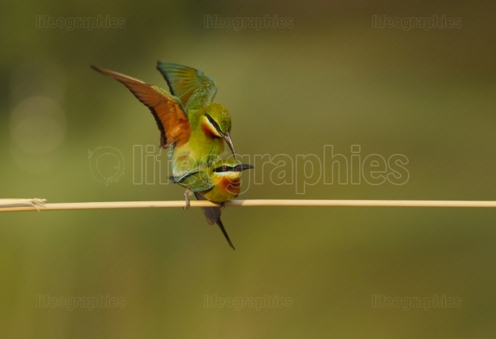 Matting,blue tailed bee eater