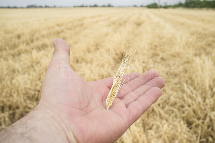 Mature farmer hand holding a yellow wheat ear just picked