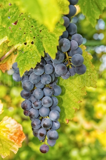 Matured grapes for red wine