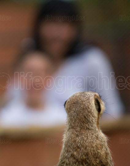 Meerkat and visitors