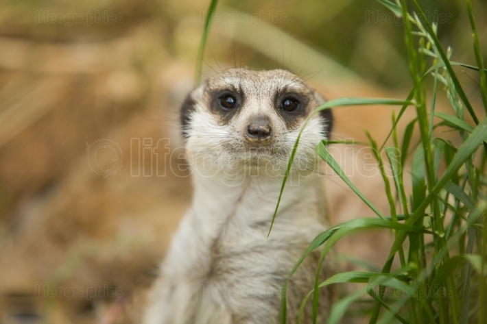 Meerkat between the grass