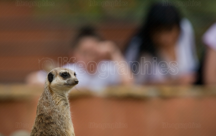 Meerkats and visitors looking