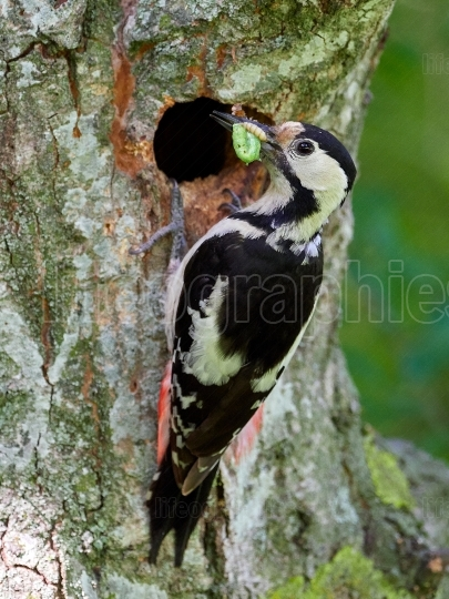 Middle Spotted Woodpecker (Dendrocopos medius) in natural habita