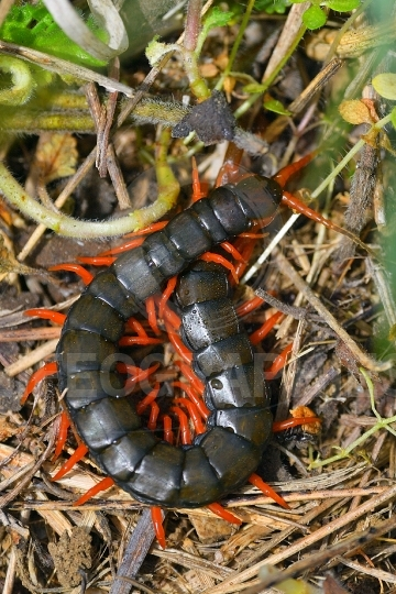 Millipedes outdoor