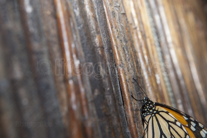 Monarch butterfly over wicker background