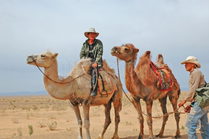 Mongolian Men and Camels