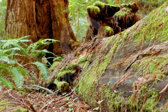 Moss Covers Fallen Redwood In California Forest