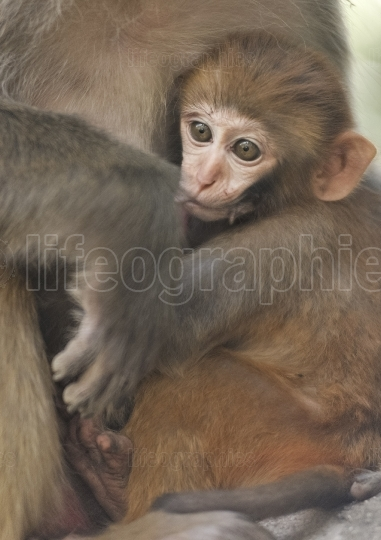 Mother breastfeeding her baby monkey
