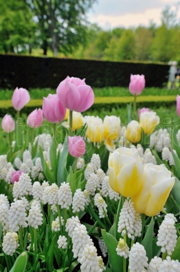 Muscari botryoides and tulips flowers