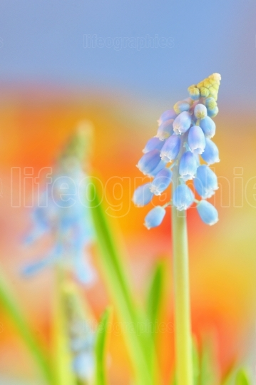 Muscari neglectum flowers