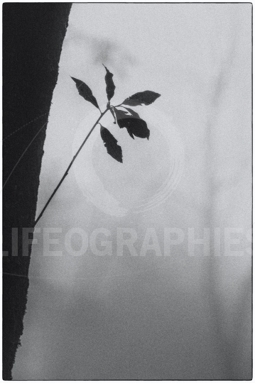 Mystical  leaf tree and fog in the Wudang Mountains. China