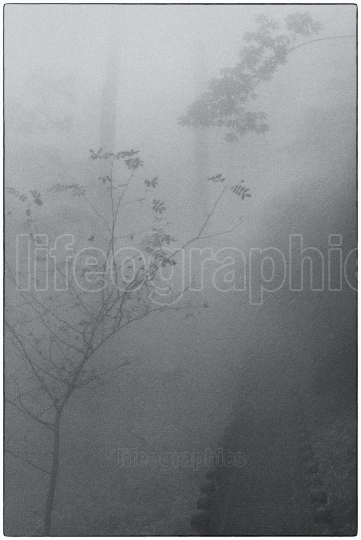 Mystical deep forest covered by  dense fog