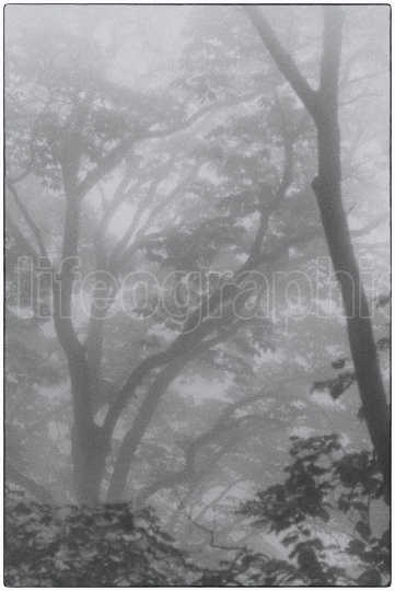 Mystical deep forest covered by  fog