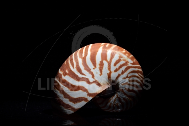 Nautilus shell in studio