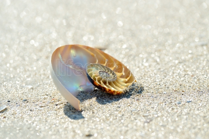 Nautilus shell on wet sand