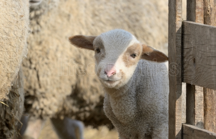 Newborn lamb on the farm