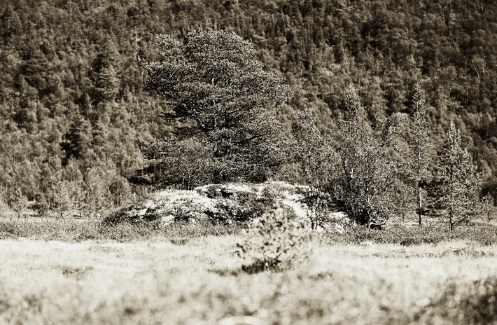 Norway tree on rock stone sepia background