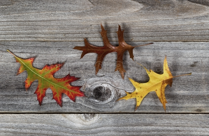 Oak Leafs with different Fall Season Colors