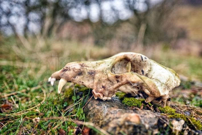 Old animal skull on the field on grass