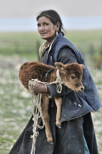 Old lady from Korzok village cares for her cows, Ladakh