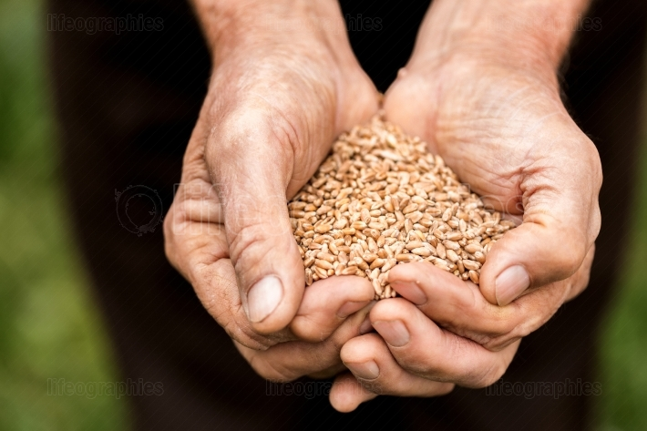 Old man holding a wheat grains in his hands The farmer is holdin