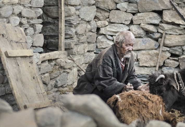 Old mn from Korzok village stand in front of the house and cares for his cows