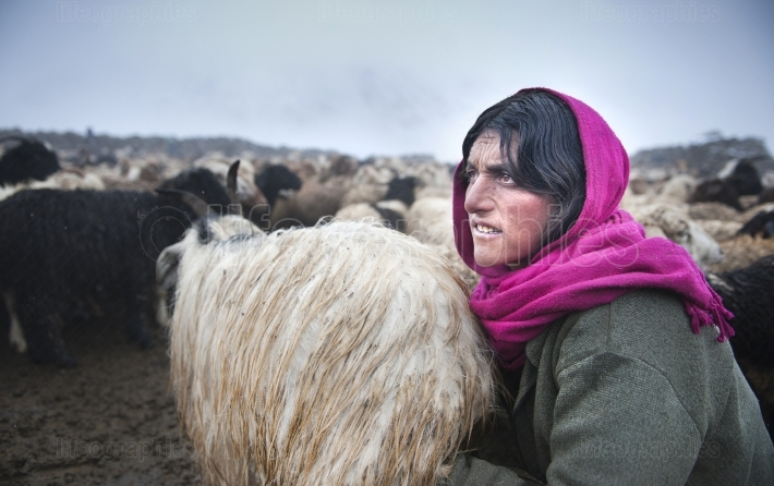 Old shimshali lady milking sheep.