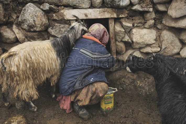 Old woman checking  the animals in the shelter made of stone and yak dung