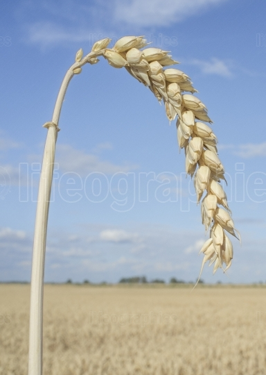 One grain ear at wheat field over blue sky