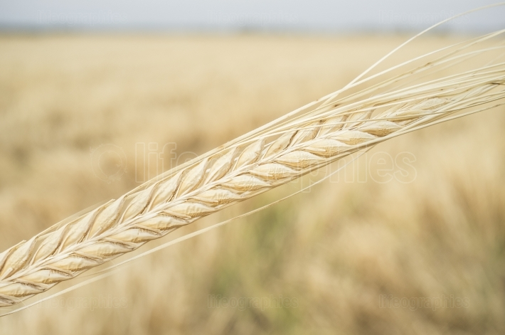 One grain ear over wheat grain field