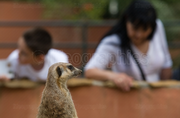 One meerkat and two visitors
