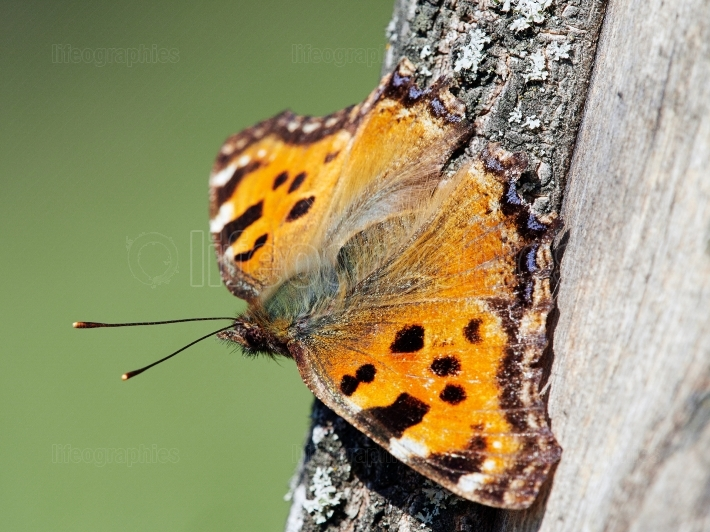 Ordinary urticaria butterfly (Latin Aglais urticae or Nymphalis