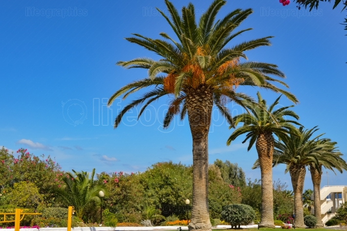 Ow of palm trees along Maleme