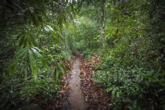 Path in the jungle. sinharaja rainforest in sri lanka.