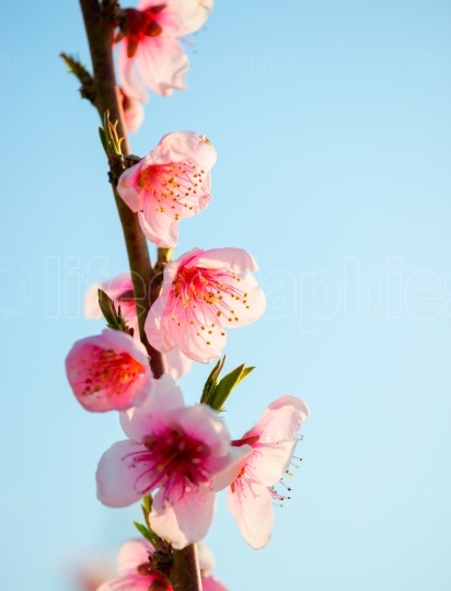 Peach blossom in spring. Macro shot.