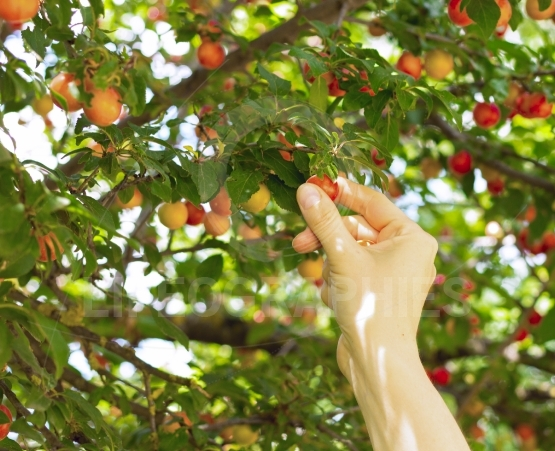 Person picking red mirabelle fruit