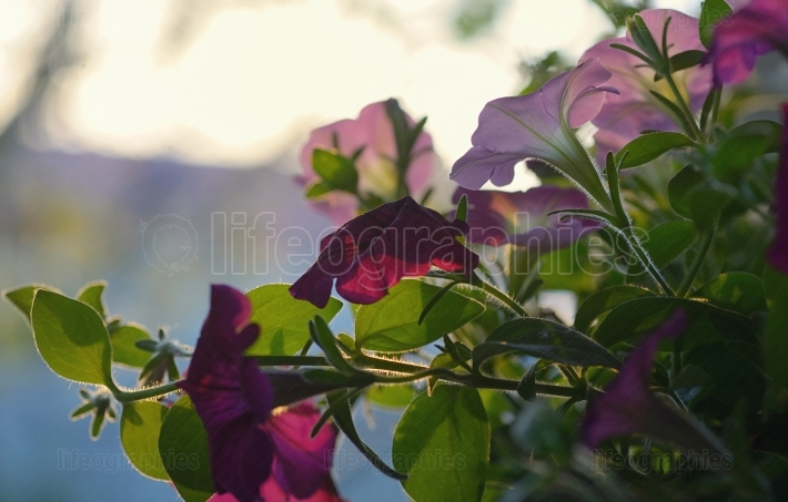 Petunia flowers and sunset
