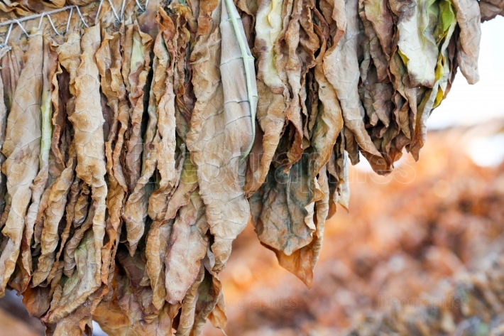Picture of a Tobacco leaves drying natural