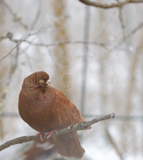 Pigeon sitting on a branch in winter time